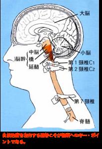 自然治癒力・脳幹14
